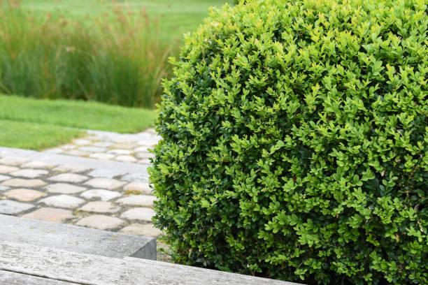 buxus sempervirens, plante de buis - buis photos et images de collection