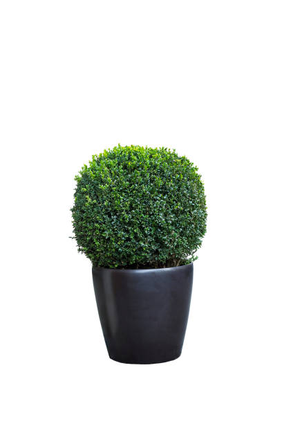 Buxus sempervirens tree in pot isolated on white stock photo