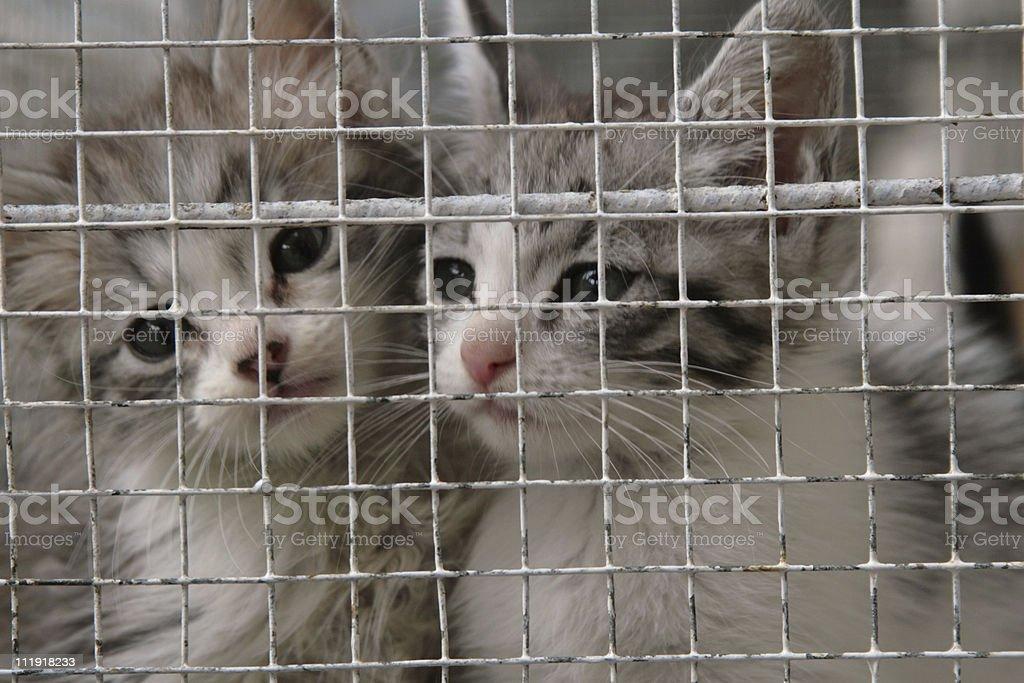 Buy Me! Kittens in captivity stock photo