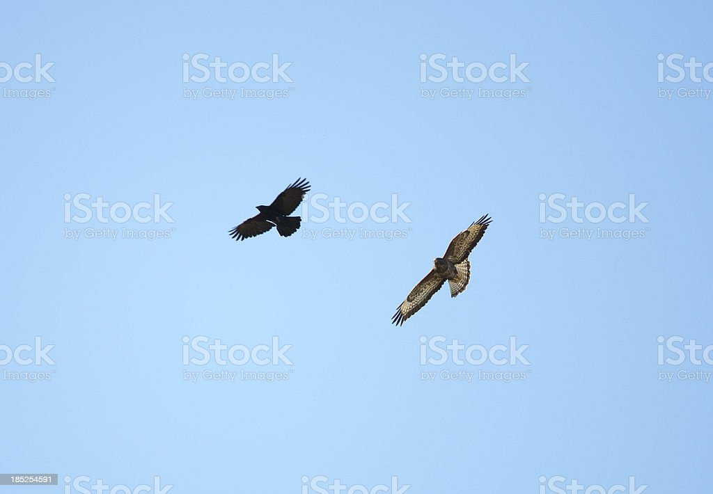 Buzzard and Crow foto