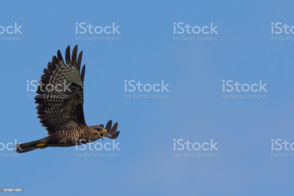 Buzzard appelle en vol photo libre de droits