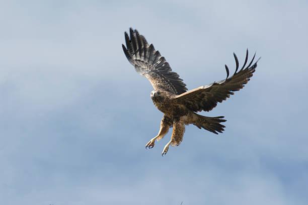 buzzard eagle in flight - falcon bird stock photos and pictures