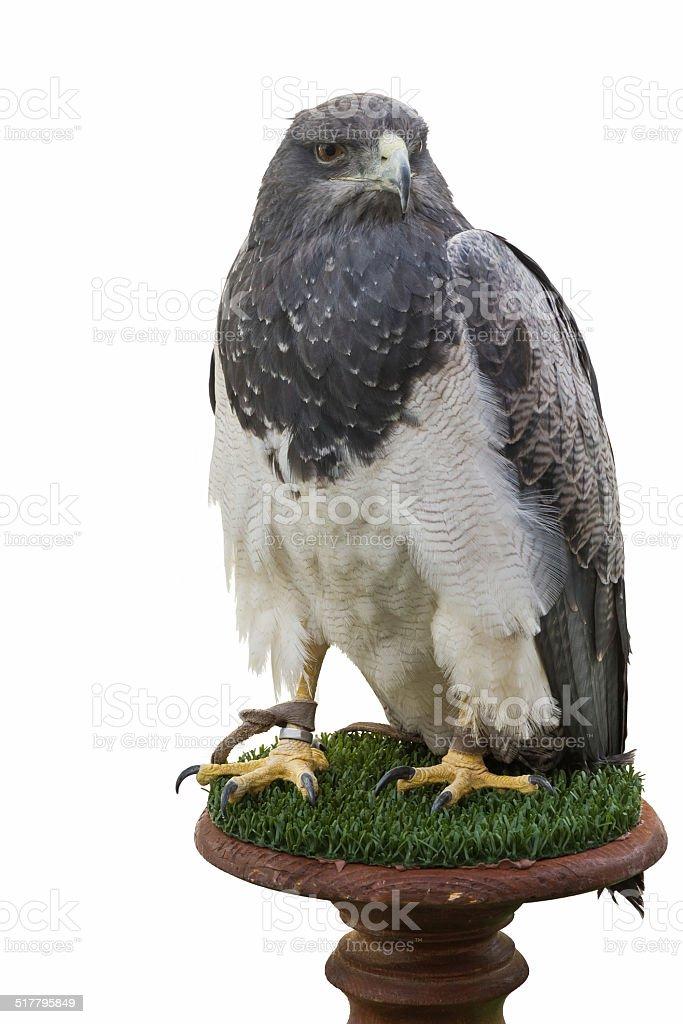 Águia-isolado-Aguila Escudada Aislada - foto de acervo