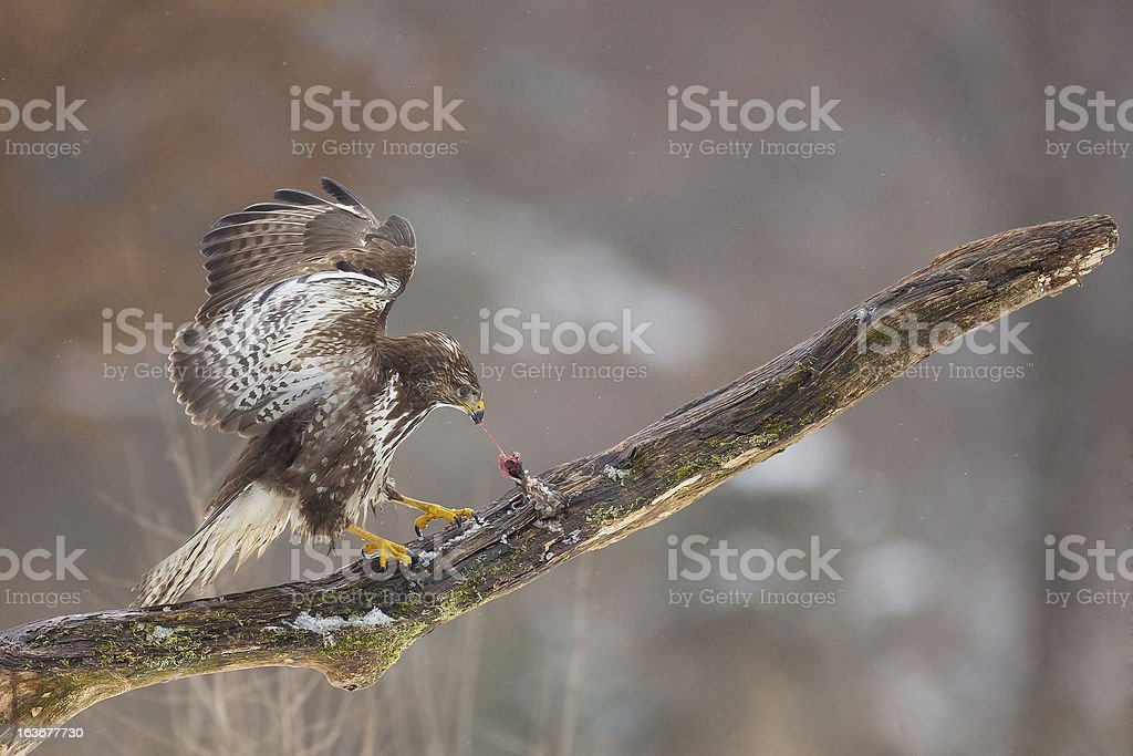 Buzzard eating a mouse on mossy branch royalty-free stock photo