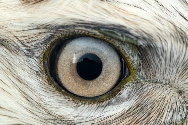 ormvråk öga närbild, makro foto, öga av den manlig grov ben ormvråk, buteo lagopus - djuröga bildbanksfoton och bilder