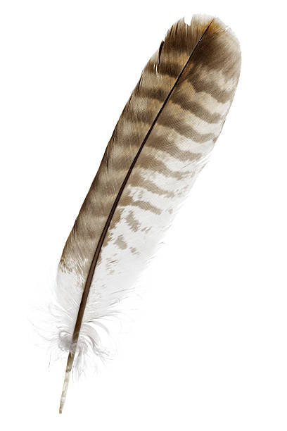 buzzard feather isolated on white foto