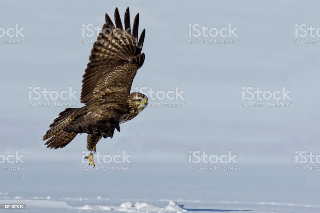 Buzzard flying over snow covered field stock photo