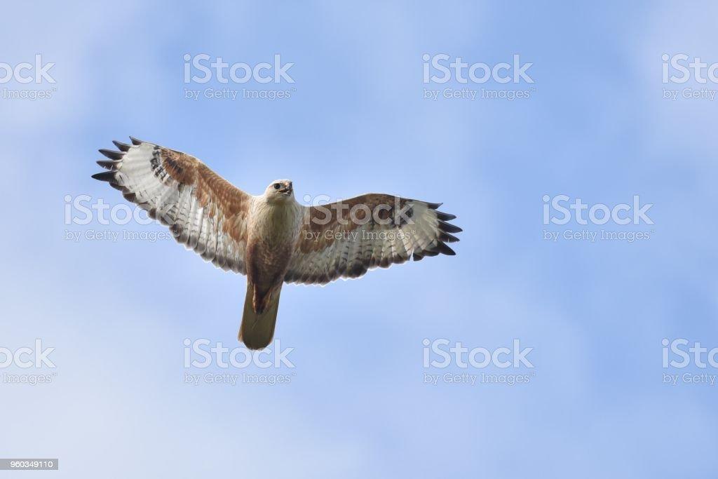 Buizerd tijdens de vlucht tegen de hemel (Buteo rufinus) foto