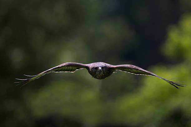 Buzzard in flight foto