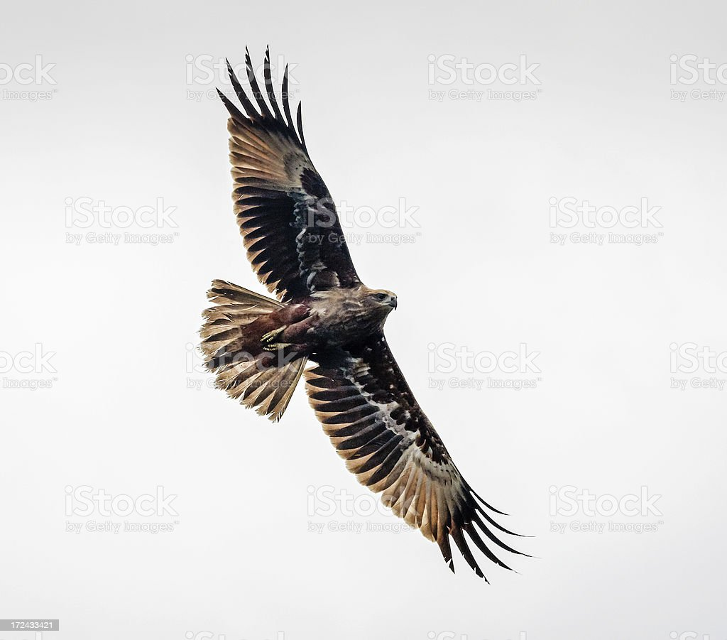 Buzzard in flight showing wingspan and underside royalty-free stock photo