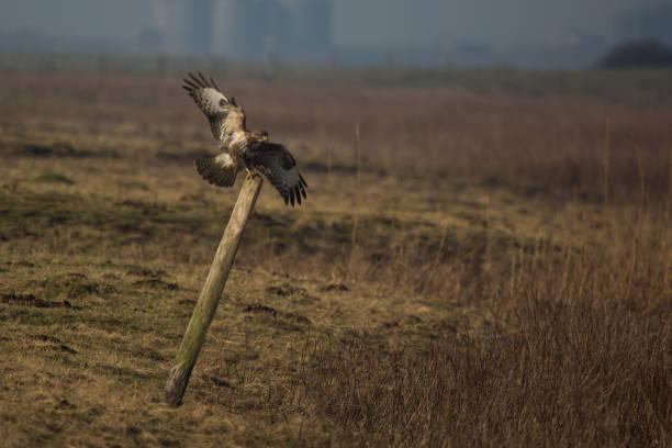 Buizerd landing op houten post foto