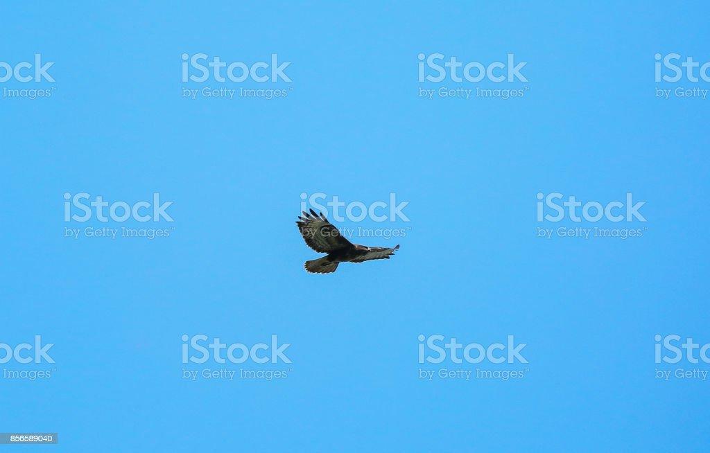 Buzzard overhead stock photo