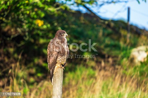 Buzzard sitting on a wood post at the roadside and looking