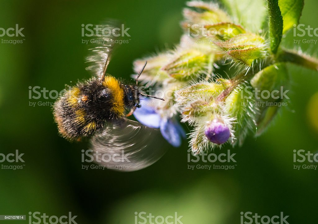 Buzzing Bumblebee stock photo