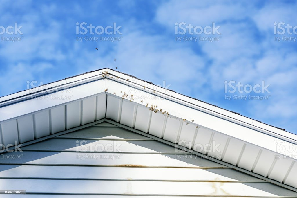 Buzzing Flying Bee Swarm Infestation Under Roof Peak stock photo