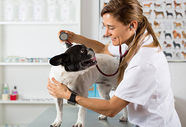 By listening to a dog Veterinary bulldog French stock photo