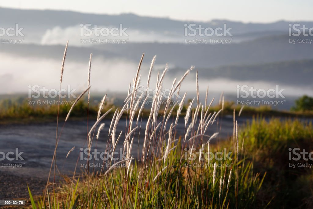 CORTADERIA SELLOANA by road royalty-free stock photo