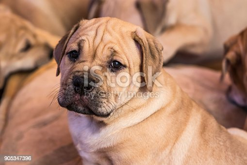 Brown 8 weeks old Ca de Bou (Mallorquin Mastiff) puppy dog with sleepy eyes looks on the camera