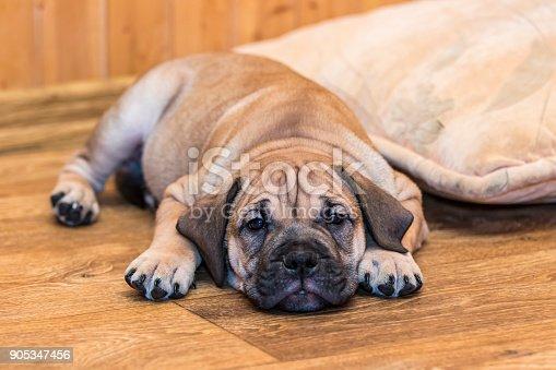 Brown 8 weeks old Ca de Bou (Mallorquin Mastiff) puppy dog lying on a parquet floor