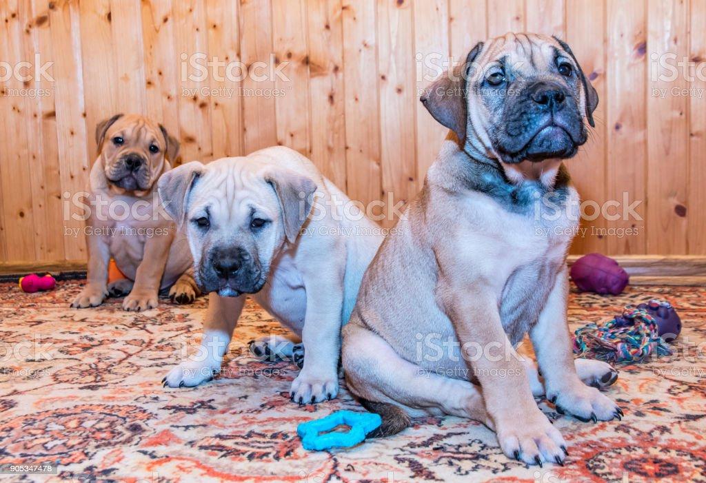 Ca de Bou (Mallorquin Mastiff) puppy dog stock photo