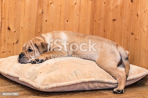 Brown 8 weeks old Ca de Bou (Mallorquin Mastiff) puppy dog sleeping on a pillow