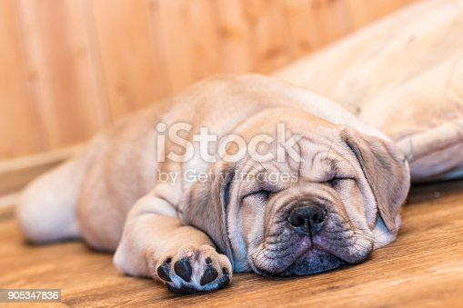 Brown 8 weeks old Ca de Bou (Mallorquin Mastiff) puppy dog sleeping on a parquet floor