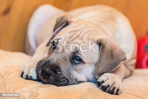 Brown 8 weeks old Ca de Bou (Mallorquin Mastiff) puppy dog with sad eyes lying on a pillow