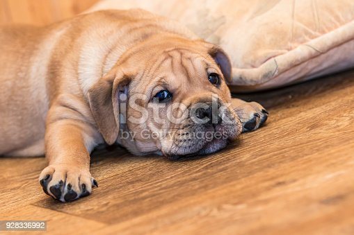 Brown 9 weeks old Ca de Bou (Mallorquin Mastiff) puppy dog lying on a parquet floor