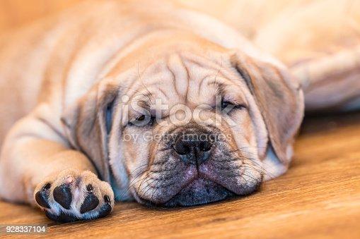 Brown 9 weeks old Ca de Bou (Mallorquin Mastiff) puppy dog sleeping on a parquet floor