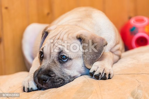 Brown 9 weeks old Ca de Bou (Mallorquin Mastiff) puppy dog with sad eyes lying on a pillow