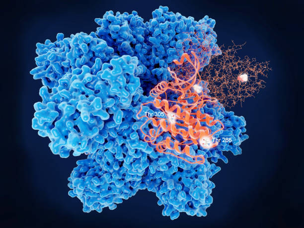 Ca2+/calmodulin-dependent protein kinase II, key regulatory aminoacids of two identical subunits. stock photo