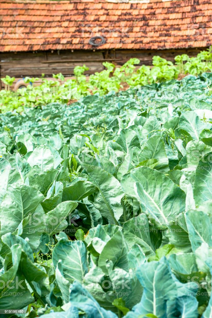 Cabbage and lettuce field stock photo