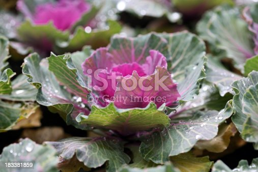 Cabbage with drops of rain in a bed