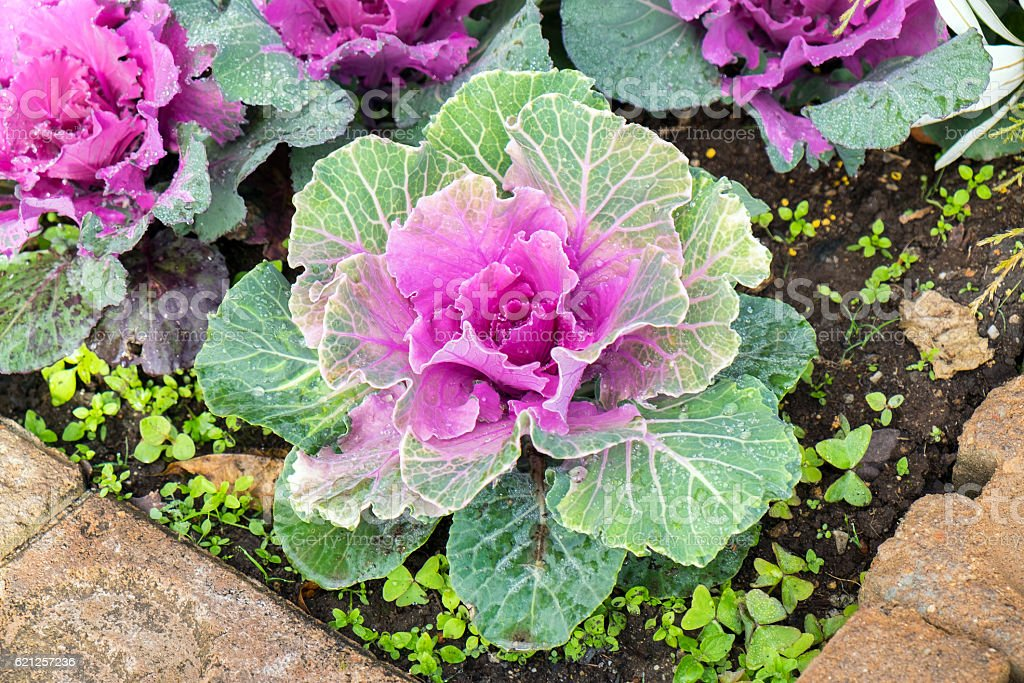 Cabbage bloom purple green in farm cultivated stock photo