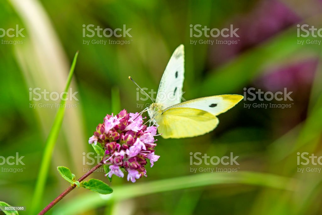 cabbage butterfly on flower of wild oregano stock photo