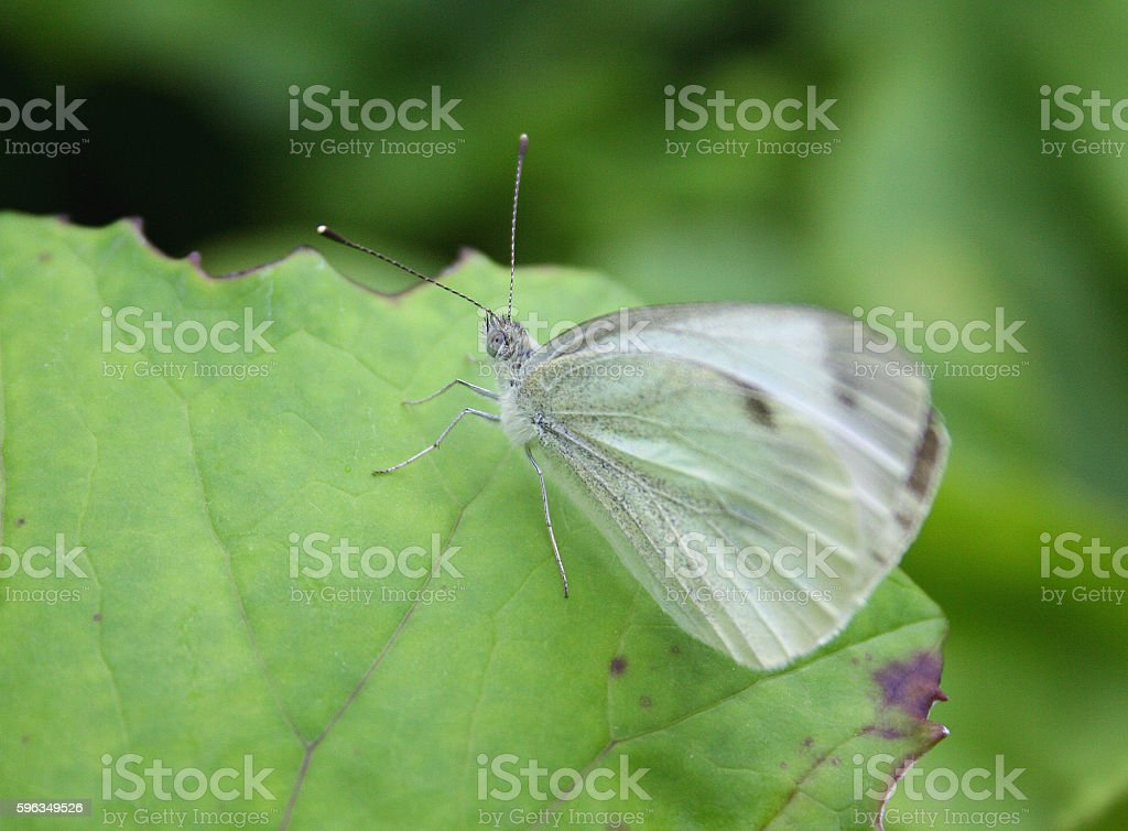 Cabbage butterfly on green leaf, symbol of eco royalty-free stock photo
