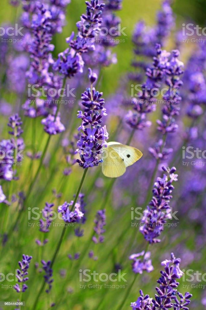 Lavanta çiçekleri lahana kelebeği - Royalty-free Ağaç Çiçeği Stok görsel
