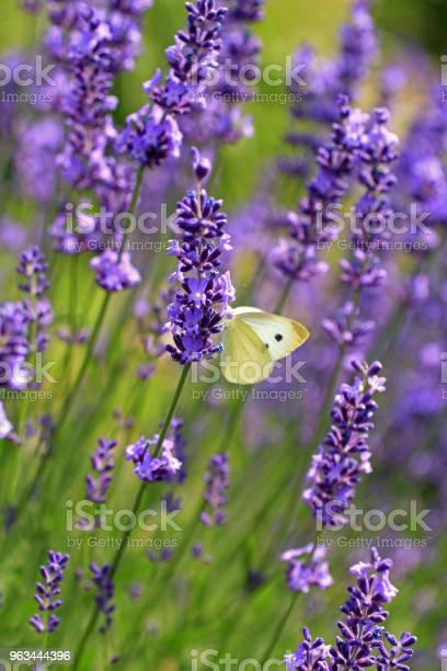Lavanta Çiçekleri Lahana Kelebeği Stok Fotoğraflar & Ağaç Çiçeği'nin Daha Fazla Resimleri