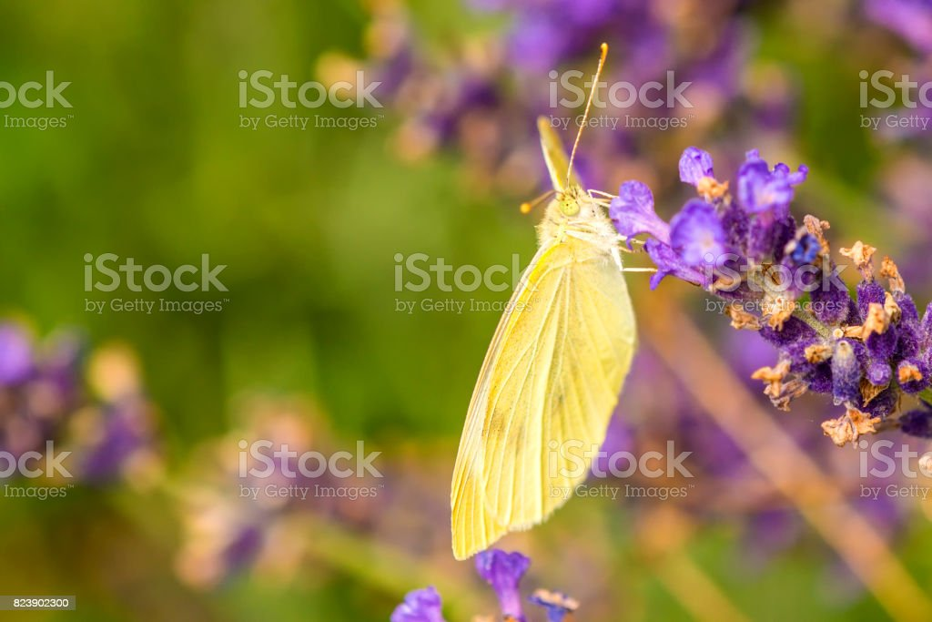 cabbage butterfly, Pieris rapae, on lavender stock photo