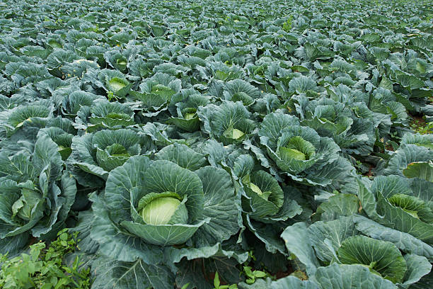 Cabbage cultivation stock photo