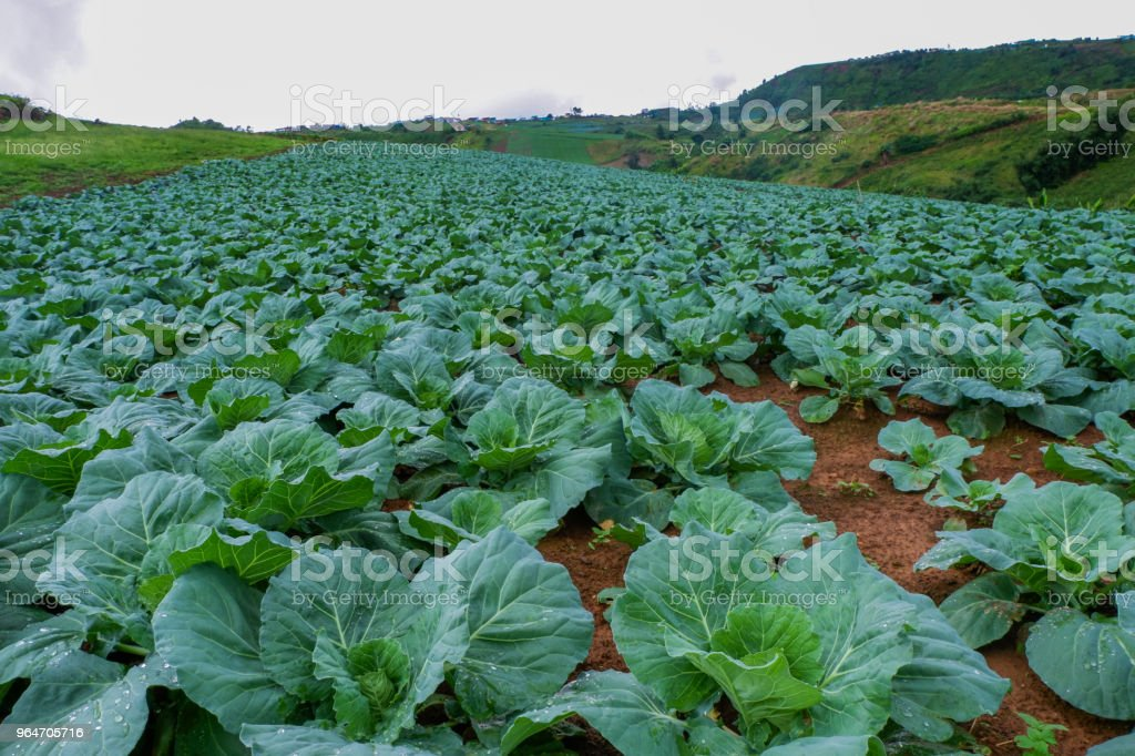 Cabbage farm on hill royalty-free stock photo