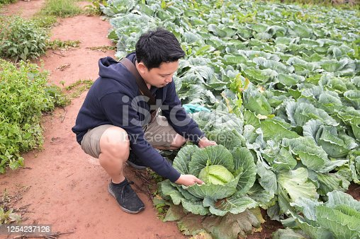 Cabbage farm on Phu Thap Berk, Phetchabun Province, Thailand