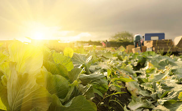 cabbage farm - cabbage stock photos and pictures