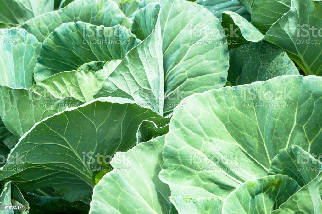 Cabbage field in Brazil stock photo