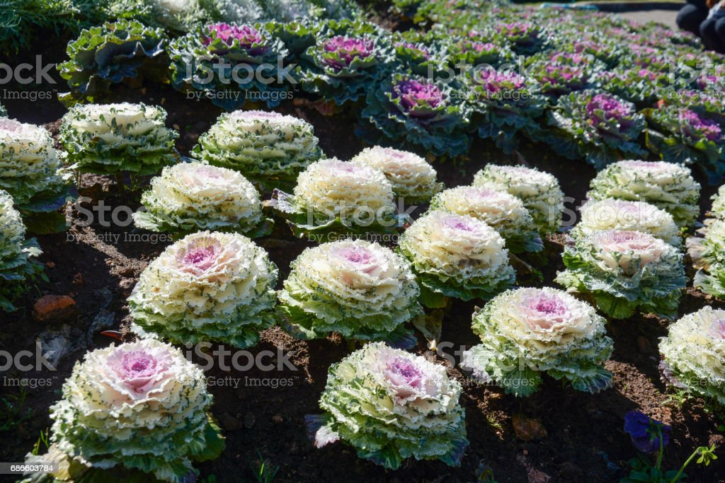 Cabbage field in Doi Inthanon National Park , Chiangmai , Thailand royalty-free stock photo