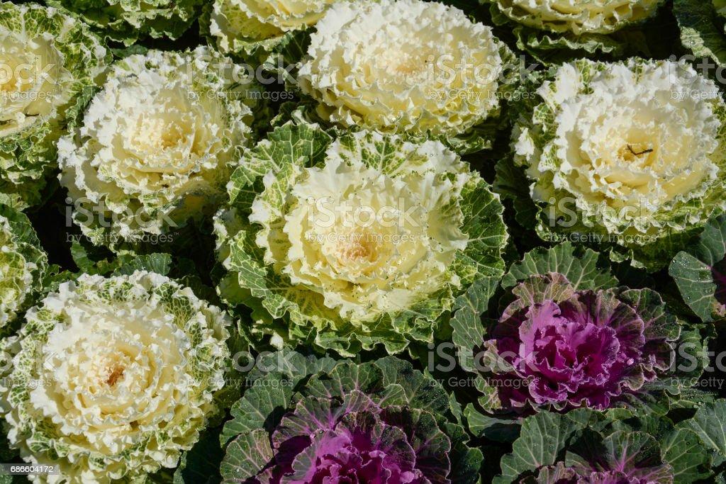 Cabbage field in Doi Inthanon National Park , Chiangmai , Thailand royalty-free stock photo
