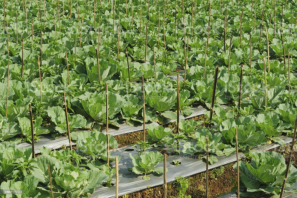 cabbage field royalty-free stock photo