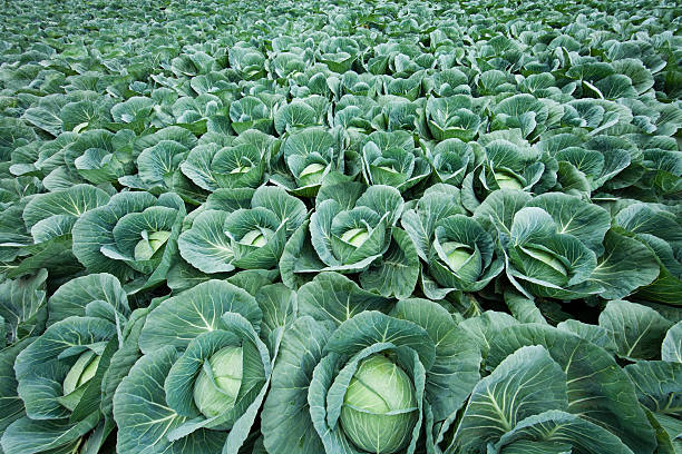 Cabbage field Cabbage field cabbage stock pictures, royalty-free photos & images