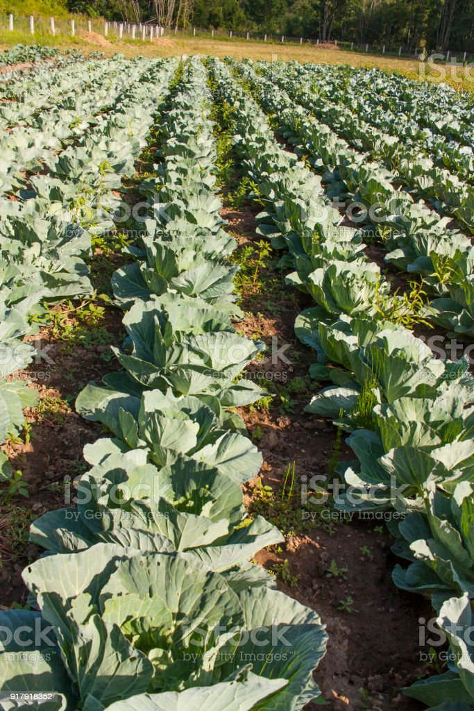 Cabbage field stock photo