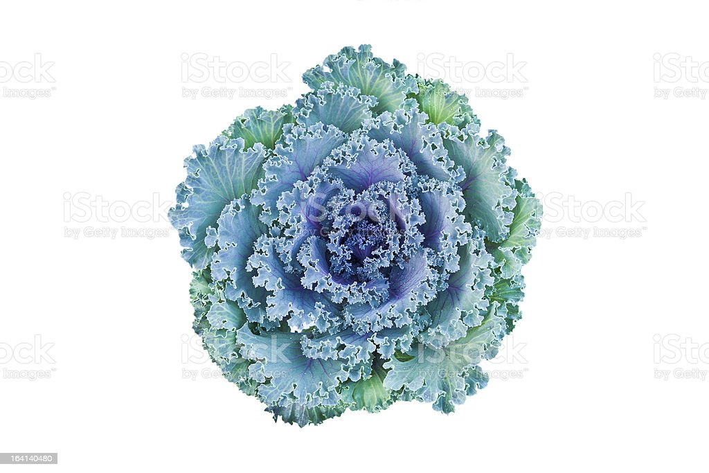 Cabbage flower isolated on white with clipping paths stock photo